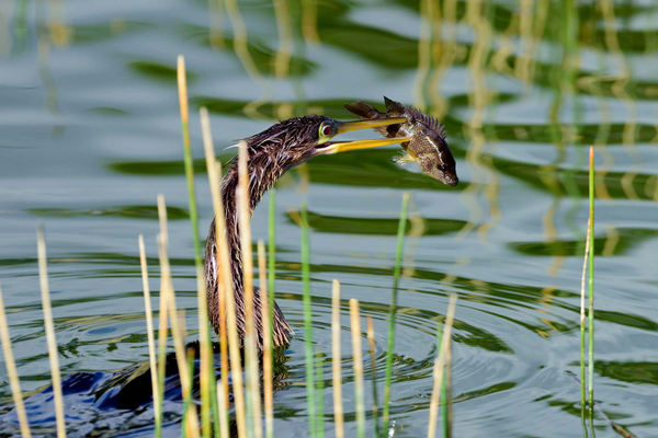 "The anhinga is called the ""snakebird"" for its ability to swim with just its neck and head above water. After stabbing the fish in the side, it then flips it up to swallow headfirst. Photo courtesy of Rod ""R.J."" Wiley."