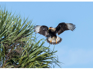 Audubons Crested Caracara - Federally Threatened Species In Florida - Jun 25 2018 0800AM