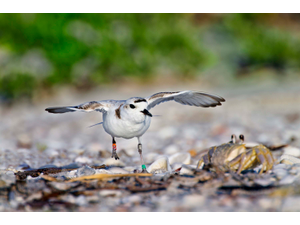 A snowy plover stretches its wings near a crab on the beach