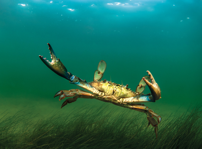 Fleming jay photography bluecrab 5x8 sm