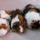 Wheek Care Guinea Pig Rescue Finds Homes for Abandoned Pets - Sep 30 2018 0555PM