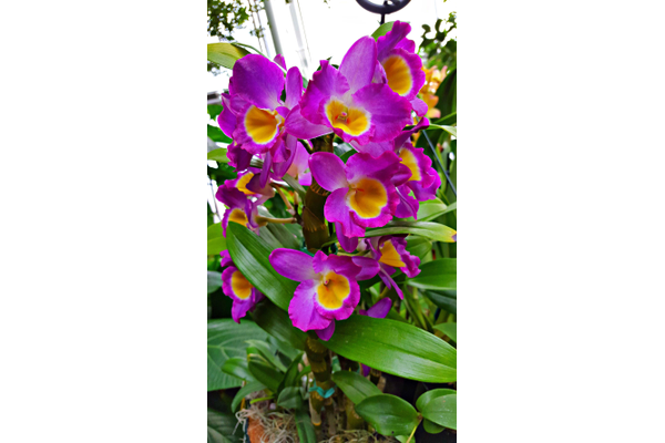 Orchid in glasshouse