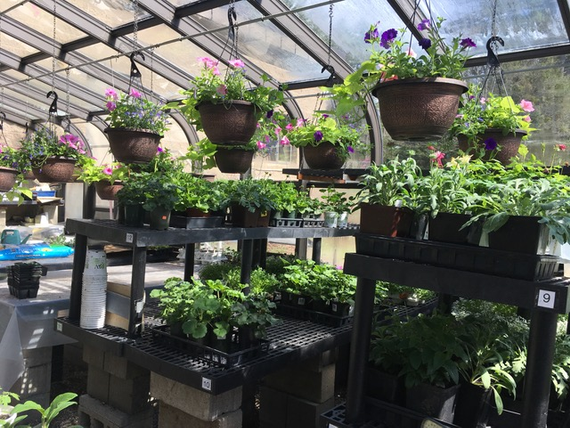 Hanging 20plants 20in 20greenhouse