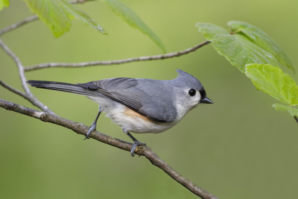 The Tufted Titmouse, one of many birds seen on the trail