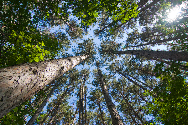 Pine forest trees minnesota photo courtesy minnesota pollution control agency