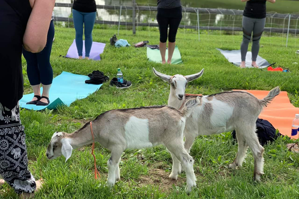 Goat yoga. Photo by  Maggie Aebi