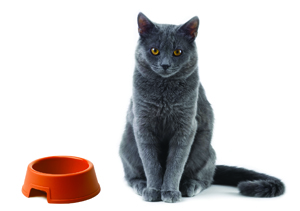 Gray cat with food bowl