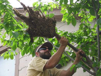 Jesse Spanaus trims a branch containing a swarm of 3,000 bees