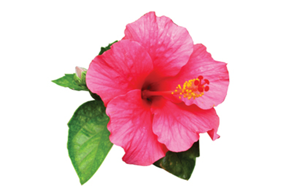 Hibiscus fights breast cancer
