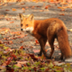 Red 20fox 20 vulpes 20vulpes 20133