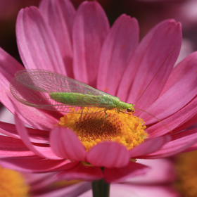 Green lacewing beneficial insect pixabay