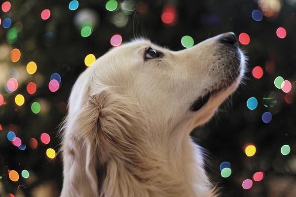 Dog waiting for homemade holiday pet treats