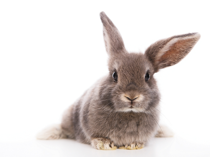 Rabbit for small pet