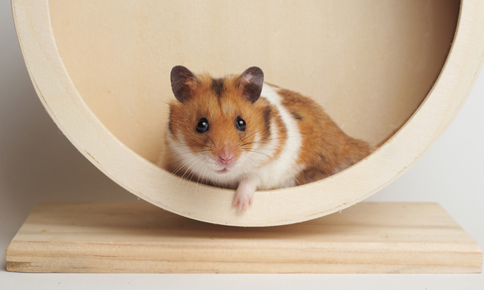 Hamster as a small pet