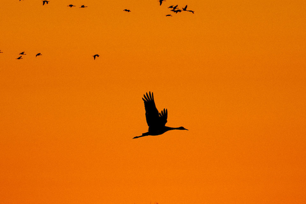 goose flying by orange sunset