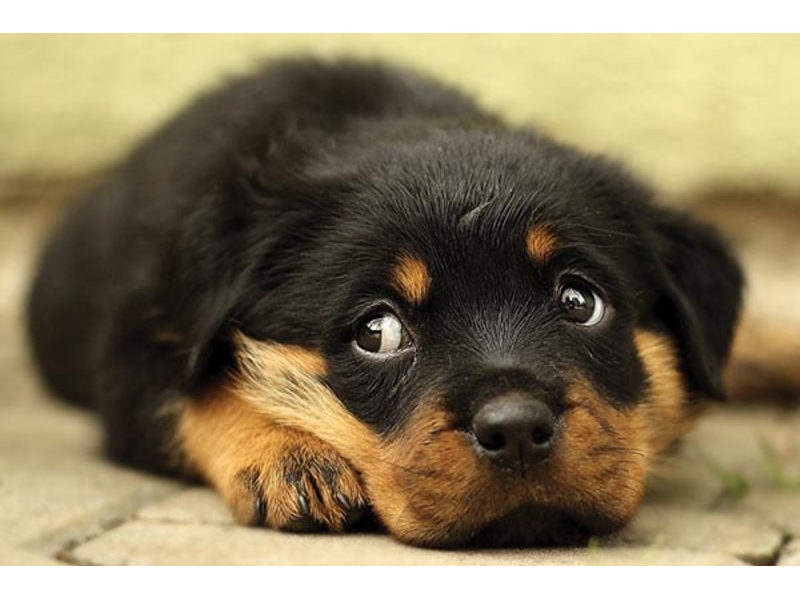 "Black and brown puppy lying on floor, looking up with classic ""puppy dog eyes"""
