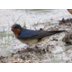 Barn Swallow just past Hogg Alley after a rainstorm